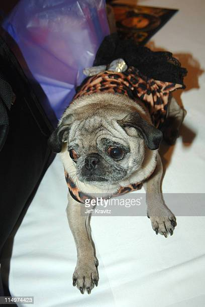 Tori Spelling's Dog during 2006 TCA MTV Networks Green Room at Ritz Carlton Hotel Pavilion Room in Pasadena California United States