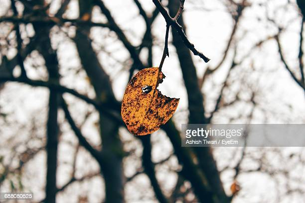 Torn Dry Leaf On Tree