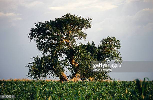 A lone tree emerges from an African farmland crop at sunset.
