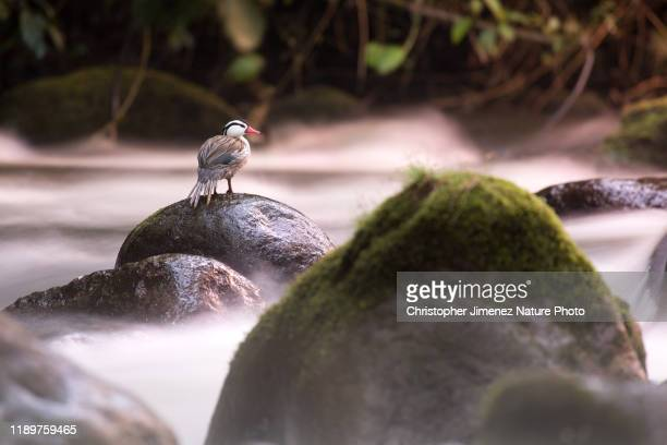 torrent duck in colombia in the torrent river - christopher jimenez nature photo stock pictures, royalty-free photos & images