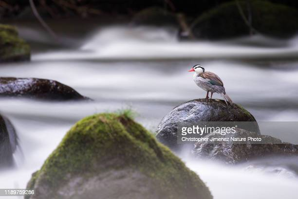 torrent ducks in colombia - christopher jimenez nature photo stock pictures, royalty-free photos & images