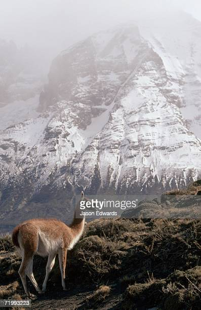 Torres del Paine National Park, Chile. A guanaco standing against a background of the snow-peaked Andes.