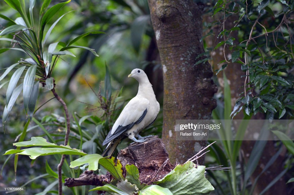 Torresian Imperial Pigeon : Stock Photo