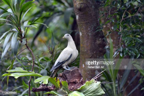 torresian imperial pigeon - rafael ben ari - fotografias e filmes do acervo