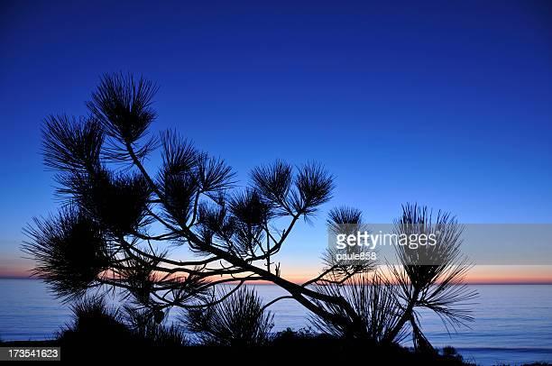Torrey Pine Tree