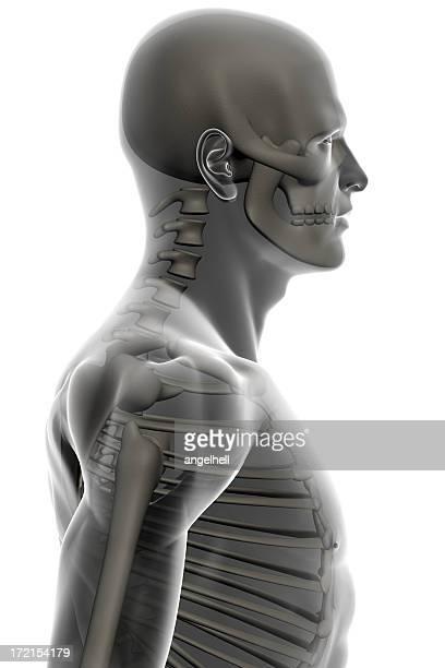 Torso of human  man with skeleton for study