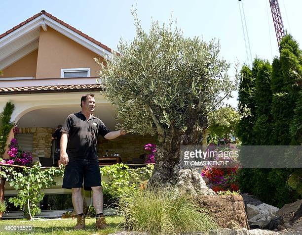 Torsten Jablonski gardener and dealer of mediterranean trees stands next to an old olive tree in Heilbronn southern Germany on July 16 2015 The some...