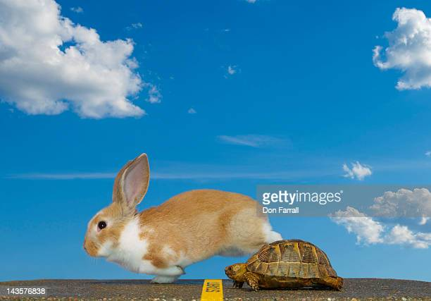 tortoise and hare, start - lagomorphs stock pictures, royalty-free photos & images