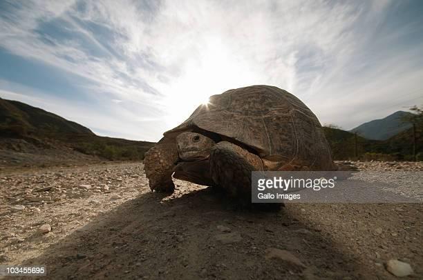 Tortoise crossing dirt road to Oudtshoorn, De Rust, Karoo, Western Cape Province, South Africa