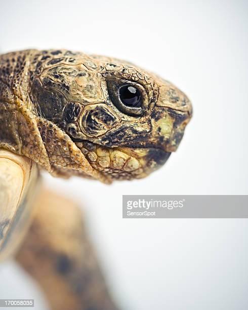Schildkröte head