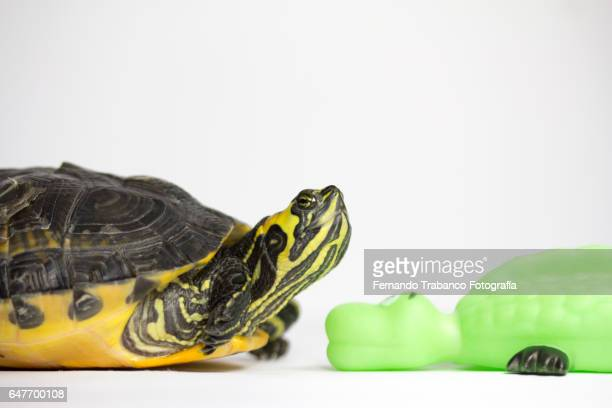 Tortoise looks at a plastic tortoise and falls in love
