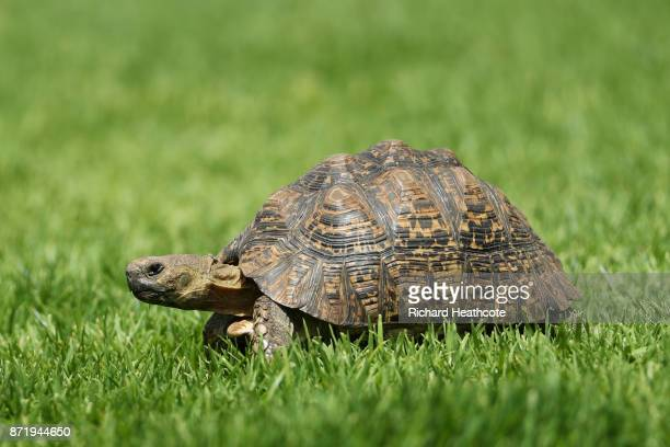 A tortoise looks on during the first round of the Nedbank Golf Challenge at Gary Player CC on November 9 2017 in Sun City South Africa