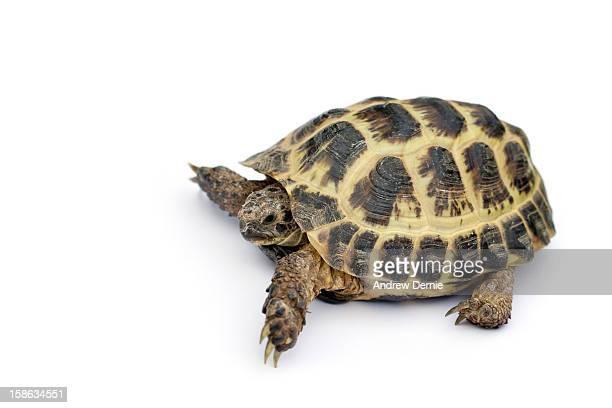 tortoise - andrew dernie stockfoto's en -beelden