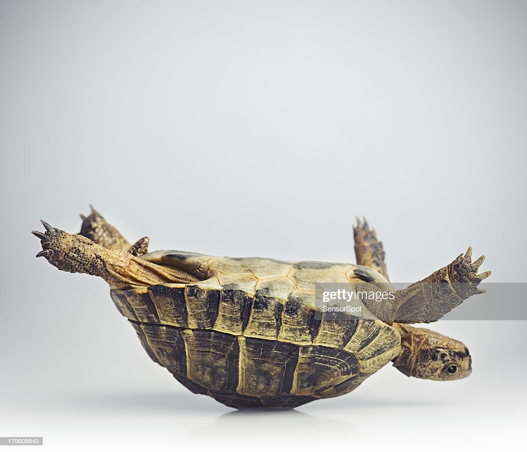 Portrait of a greek tortoise (testudo graeca) having problems in upside down position.