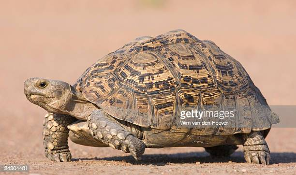 Tortoise walking in sand
