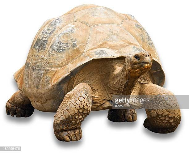 Tortoise with clipping path on white background