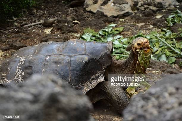 Tortoises Diego a species of the Española Island giant tortoise species is pictured in a breeding centre at the Galapagos National Park in Santa Cruz...