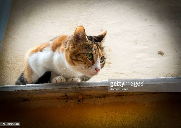 A Tortoiseshell Cat perched on the edge of a narrow ledge staring intensely away from camera