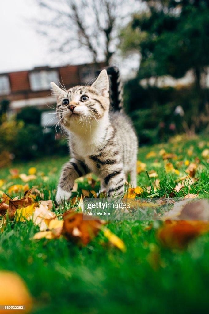 Tortoiseshell kitten takes first steps outdoors. : Stock Photo