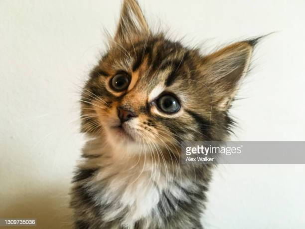 tortoiseshell maine coon kitten - whisker stock pictures, royalty-free photos & images