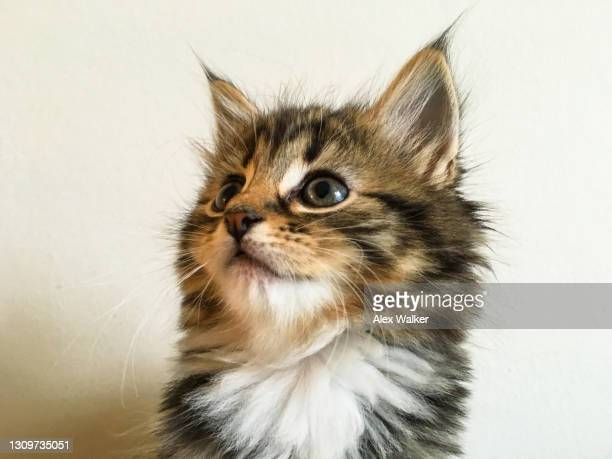 tortoiseshell maine coon kitten - maine coon cat stock pictures, royalty-free photos & images