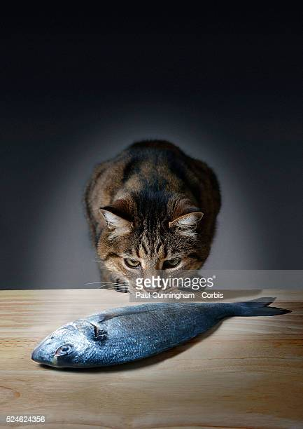 Tortoiseshell Tom Cat gets the aroma of a fresh fish from the kitchen table Number 2 of a Series of 4 images 5 June 2015 Image by �� Paul...