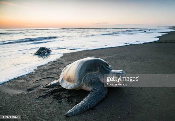 tortugas marinas - guanacaste fotografías e imágenes de stock