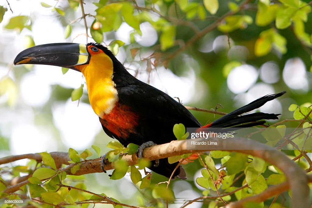 Toucan (Ranphastos vitellinus) Amazon Region : Stock Photo