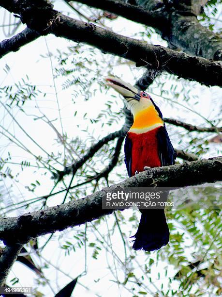 Toucan bird Brazil