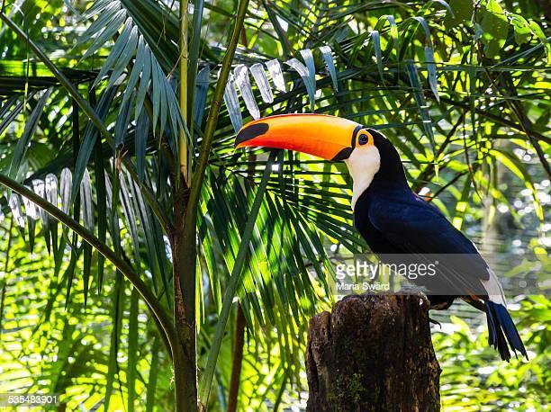 Toucan, Brazil