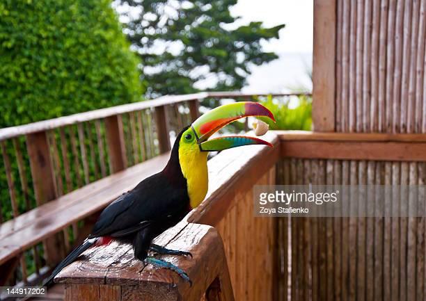 Toucan catching banana piece
