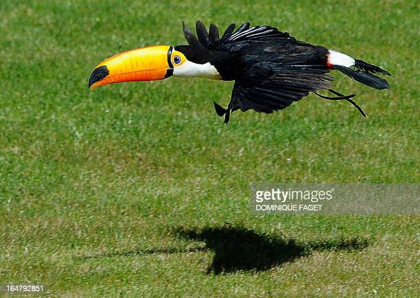A toucan flies at Zoomadrid in Madrid on March 28 2013 AFP PHOTO/ DOMINIQUE FAGET