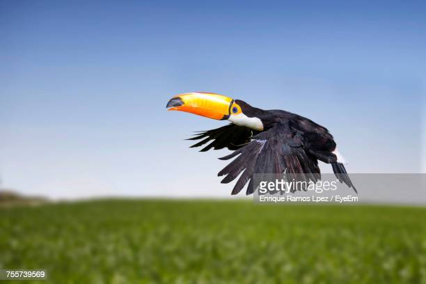 toucan flying over grassy field against clear blue sky - toucan stock photos and pictures