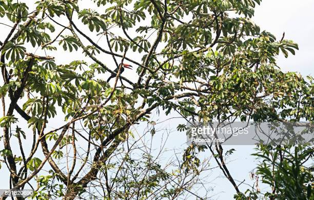 a  toucan in the  schefflera branch - queensland umbrella tree stock pictures, royalty-free photos & images