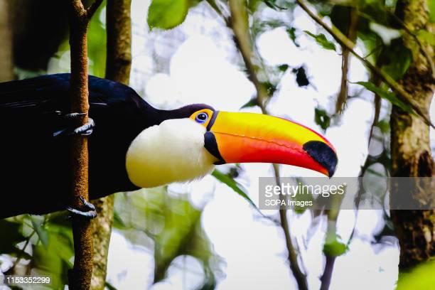 Toucan on a tree branch in Brazil