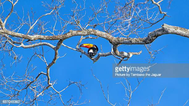 Toucan on the dead tree