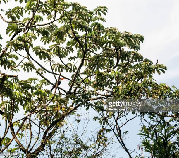a  toucan perched in the  schefflera branch - queensland umbrella tree stock pictures, royalty-free photos & images