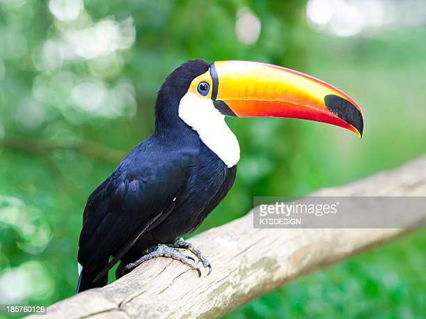 toucan - toucan stock photos and pictures