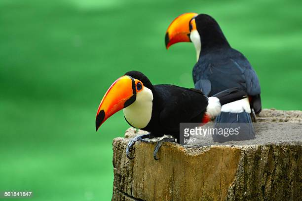 toucan - jurong bird park stock pictures, royalty-free photos & images
