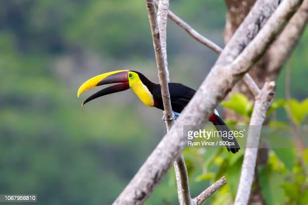 toucan standing on branch with open beak - tucano imagens e fotografias de stock