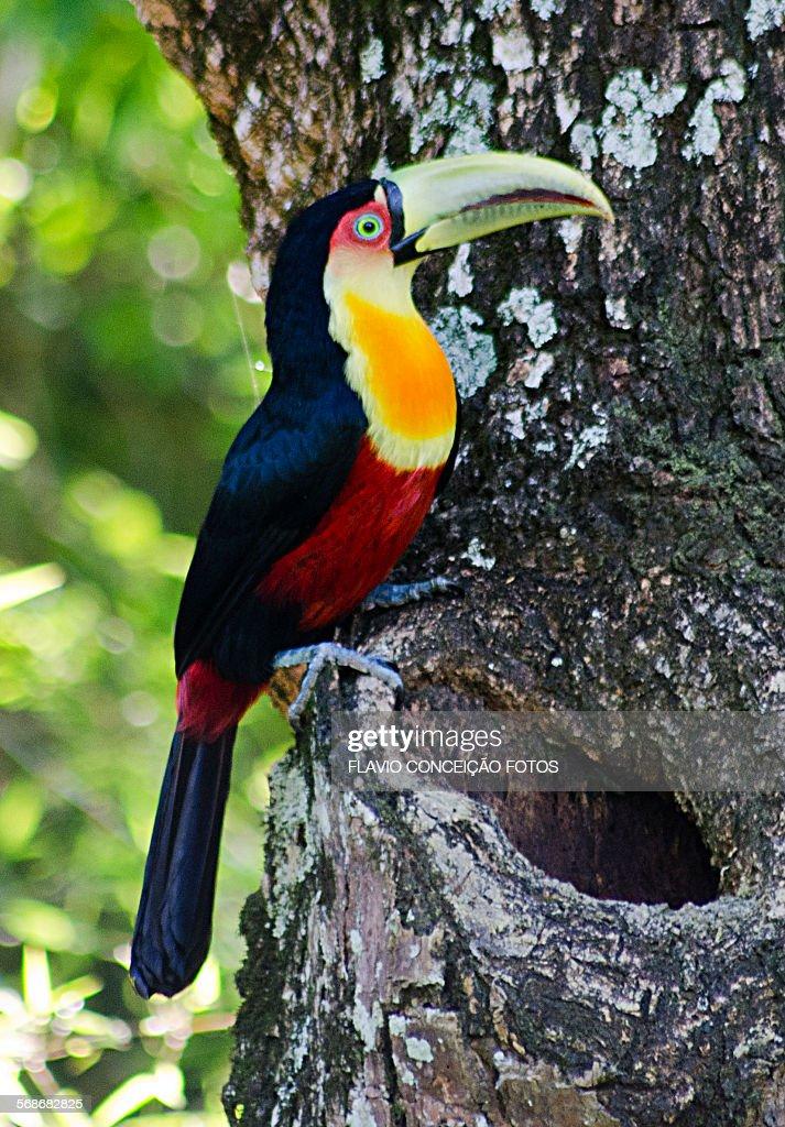 Toucan tree bird : Stock Photo