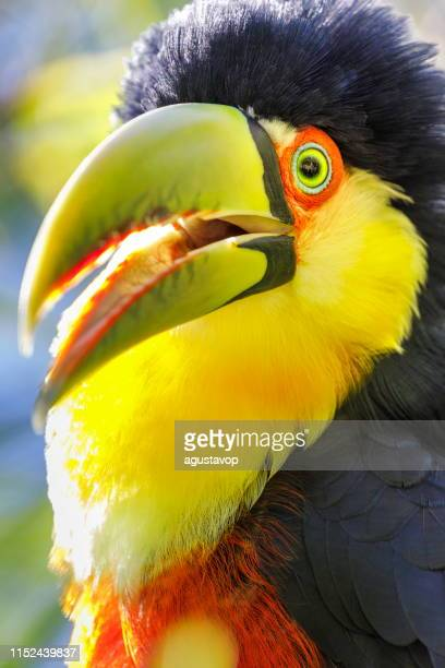 toucan tropical bird on nature background – pantanal wetlands, brazil - goose bumps stock pictures, royalty-free photos & images