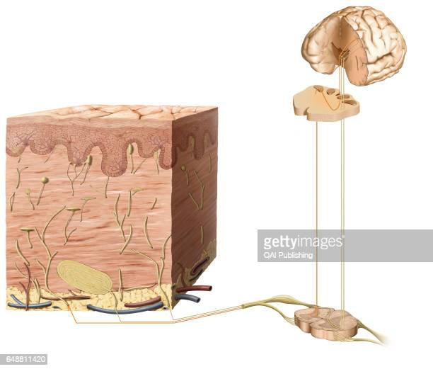 Touch receptor Touch receptors are sensory neuron endings embedded more or less deeply in the skin There are several different types usually...