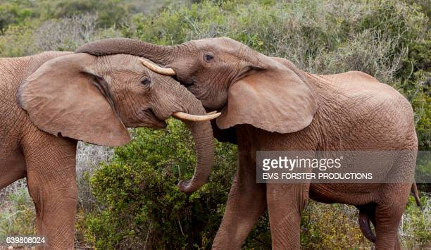 touching moments of  african elephants - two young elephants - both with tusks - side by side