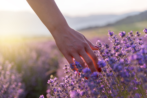 Touching the lavender 1005995502