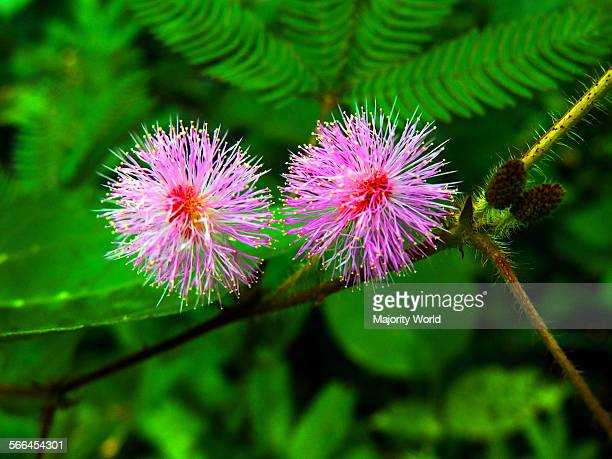 Touchmenot flowers also called Sensitive plant and Sleepy plant Locally known as Lojjaboti phool in Bangladesh