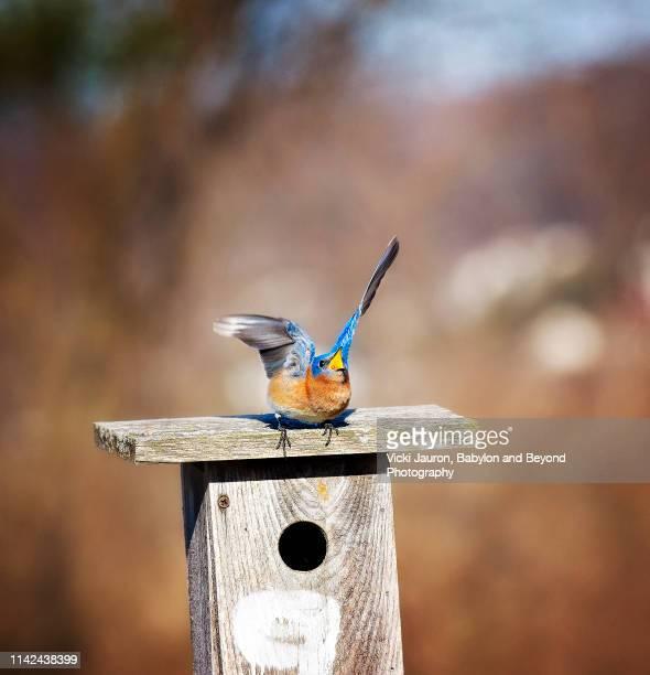 tough little bluebird keeping competition at bay - manly wilder stock-fotos und bilder