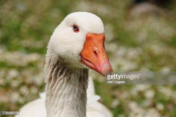 toulouse goose, jersey. - schnabel stock-fotos und bilder