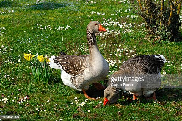 World S Best Toulouse Geese Stock Pictures Photos And
