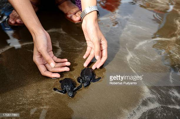 Tour de Singkarak riders concerned about preservation of sea turtles in Indonesia. 220 riders from 21 team release 300 baby sea turtles back to the...